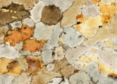 <h5>Lichen</h5><p>Water Colour and Gold Leaf</p>